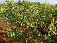 Farm Land for sale in Pudukkottai   Buy/Sell Agricultural