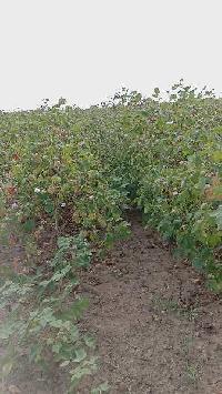 12 Bigha Farm Land for Sale in Vallabhipur, Bhavnagar