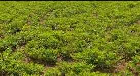 11 Acre Farm Land for Sale in Deola, Nashik