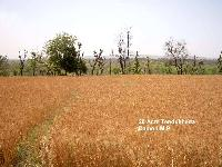 110 Acre Farm Land for Sale in Mangawan, Rewa